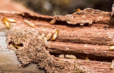 signes-termites